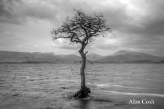 That Tree (2) (Alan Cosh) Tags: uk tree water scotland loch lochlomond milarrochybay