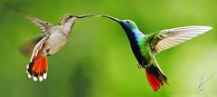 Boy meets girl (S.J. Trinidad & Tobago Nature) Tags: boy black love girl hummingbird flight mango trinidad throated