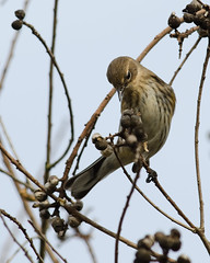 1-22-12 Mead Gardens- Yellow Rumped Warbler (janeswalden) Tags: bird nature gardens wildlife seeds mead