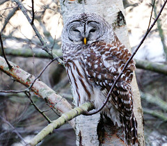 Barred Owl in the Shadow (Explored) (TOTORORO.RORO) Tags: park canada reflection bird nature lens mirror reflex bc britishcolumbia sony delta translucent marsh alpha 500mm f8 slt wetland barredowl reifelmigratorybirdsanctuary strixvaria greatervancouver a55 sal500f80 birdperfect