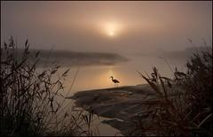 The Solitary Figure (adrians_art) Tags: winter plants mist reflection heron water birds fog sunrise reeds rivers