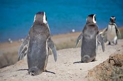 Pinguinos en Pennsula de Valds - Patagonia Argentina (www.obstinato.com.ar) Tags: sea patagonia argentina pinguinos de penguins mar punta oceano pingouins bebes pennsula valds simpticos babypenguins