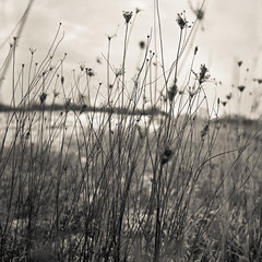 prairie flowers (roll-a-week, 5/52) (A Brand New Minneapolis) Tags: winter blackandwhite flower 6x6 tlr film nature field minnesota analog vintage mediumformat square diy fuji dof meadow 11 retro diafine medium format analogue prairie yashicamatlm yashica twinlensreflex owatonna fujineopanacros100