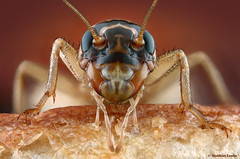 House cricket / Heimchen / Acheta domesticus (Matthias Lenke) Tags: food pet house macro eye closeup bread compound head leg bein stack cricket claw matthias grille femur tibia makro haustier antenne bun terrarium bristle antennae ensifera domesticus kopf futter palps borsten tarus fhler lenke heimchen gryllidae facettenauge acheta klaue komplexauge langfhlerschrecke allesfresser palpen synanthropie