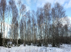 Birch Forest (Steffe) Tags: trees forest woods bjrk birches silverbirch betulapendula ginordicjan12