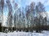Birch Forest (Steffe) Tags: trees forest woods björk birches silverbirch betulapendula ginordicjan12