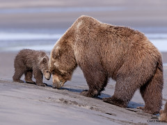 The Clamming Lesson, Alaska (Glatz Nature Photography) Tags: alaska wildlife grizzly predator cookinlet brownbears specanimal lakeclarknationalpark alaska2010