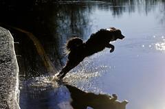 Jumping over the flection (BnGphotos) Tags: park dog dogs swimming portraits washington walk swiss hike redmond 70300mm bernese offleash marymoor d7000 mountainnikon