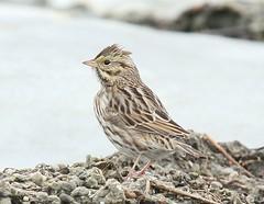 Bird on Ice (Jan Nagalski (jannagal)) Tags: winter bird ice nature canon michigan sparrow lakestclair savannahsparrow passerculussanwichensis jannagal
