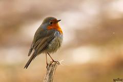 "European Robin (aziouezmazouz) Tags: cute bird amazing colours bokeh beautifulscenery bellissima anawesomeshot ""flickraward5"" blinkagain"