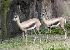 Speke's Gazelles (sandy richard) Tags: usa oregon portland zoo unitedstates portlandoregon oregonzoo sandyrichard sandrarichard