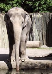 Asian Elephant (sandy richard) Tags: usa oregon portland zoo unitedstates portlandoregon oregonzoo sandyrichard sandrarichard