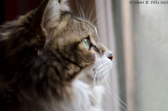 20120206_allie-cat-4384 (parlance) Tags: portrait cat 50mm kitty kitteh windowlight shallowdepthoffield mainecoonmix shallowdof petphotography alliecat diffuselight parlance ohshari sharibellis