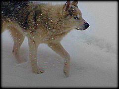 WOLF (Loris_l@_r@na) Tags: winter dog snow cane wolf neve inverno soe lupo valmarecchia casteldelci lorisphoto