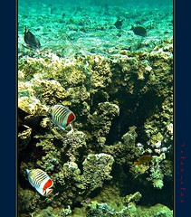 A spasso con Yelly & Compagni nell'oro del mare - Swimming with Yelly & Co. in the gold of the sea (54) (Jambo Jambo) Tags: sea mare underwater redsea egypt sharmelsheikh snorkeling pesci reef fishes egitto corals yelly barrieracorallina marrosso coralli crownbutterflyfish jambojambo samsungwp10 pescefarfallacoronato