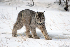 Canada Lynx (Critter Seeker) Tags: canada nature animal cat canon mammal outdoors rebel wildlife yukon canonrebel lynx specanimal superaplus aplusphoto t2i canadalynx mygearandme canont2i