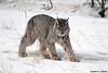 Canada Lynx (Critter Seeker) Tags: canada nature animal cat canon mammal outdoors rebel wildlife yukon canonrebel lynx specanimal superaplus aplusphoto t2i canadalynx mygearandme canont2i
