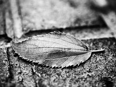 Asphalt on B/W (David Cucaln) Tags: city blackandwhite bw stilllife macro hoja blancoynegro 35mm leaf fineart highcontrast ciudad olympus bn asphalt asfalto bodegon naturalezamuerta e510 altocontraste cucalon davidcucalon