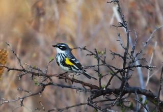 Yellow-Rumped Warbler_15