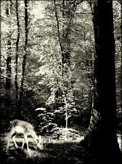 Le bonheur est aussi dans les bois ... (Juliette717) Tags: bw nb animaux fort bois monochromes daine