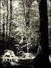 Le bonheur est aussi dans les bois ... (Juliette717) Tags: bw nb animaux forêt bois monochromes daine