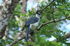 white throated Magpie-Jay1 (C//K) Tags: costa rica corcovado jungle