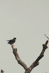 Bat falcon Rewa in Guyana (inyathi) Tags: guyana southamerica rewa amazon falcons falcorufigularis batfalcon raptors rainforest birds