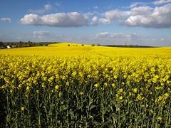 Yellow Landscape (Nico LM) Tags: landscape paysages plantes
