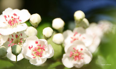 13-IMG_1396 (hemingwayfoto) Tags: rot rose natur pflanze blte strauch busch blhen weis bltenstempel