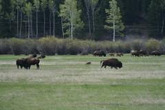 Bison (cbmtax) Tags: travel nature landscape nationalpark buffalo wyoming bison grandteton