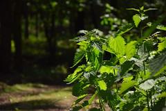 nettle (JoannaRB2009) Tags: nettle spring green light sunlight forest dzkie lodzkie polska poland