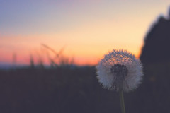 Make a wish ... (Dejan Hudoletnjak) Tags: sunset flower nature landscape dandelion wish makeawish dandelionwish refratovalučka