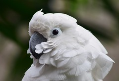Moluccan Cockatoo (careth@2012) Tags: portrait nature wildlife beak feathers cockatoo moluccancockatoo