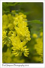 Laburnum flowers (Paul Simpson Photography) Tags: england tree nature yellow spring peas pea naturalworld yellowflowers yellowtree laburnum newleaves photosof imageof photoof imagesof sonya77 paulsimpsonphotography may2016