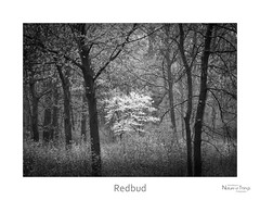 Redbud (baldwinm16) Tags: blackandwhite bw nature woodland season illinois spring woods midwest il redbud mortonarboretum natureofthingsphotography
