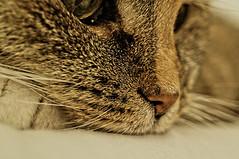 ([gegendasgrau]) Tags: pet brown detail eye nature face animal cat nose beige chat gesicht mood moody bokeh natur atmosphere katze braun melancholy stillness auge haustier nase tier ambiance atmo