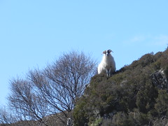 """Watching You"", near Heaste, Isle of Skye, April 2016 (allanmaciver) Tags: tree me high sheep you walk heather watching horns hillside guardian allanmaciver"