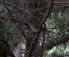 Swainson's Thrush (Dendroica cerulea) Tags: bird newjersey spring nj aves highlandpark thrush passeriformes turdidae middlesexcounty swainsonsthrush catharus catharusustulatus neoaves passeri neognathae passerimorphae psittacopasserae highlandparkmeadows eufalconimorphae