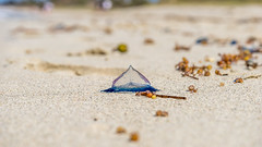 Velella Jellyfish (deyveone) Tags: ocean life pink blue vacation beach nature water landscape island boat dangerous sand marine jellyfish body south cuba balloon shoreline tourist tropical caribbean transparent portuguese poisonous tentacles physalia physalis