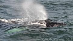Humpback whale (Vicktrr) Tags: sea white net birds tongue mouth feeding dolphin provincetown gulls watch bank atlantic bubble cape whale humpback cod hyannis baleen sided barnstable bubblenet rorqual stellwagen novaeangliae jaegar megaptera lagenorhynchus