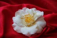 End of a Camellia (Blanca Rosa2008 +3,700,000 Views Thanks to All) Tags: flowers red plants naturaleza white flores macro nature yellow gardens flora blossom bokeh outdoor camellia jardines whitecamellia canoneos60d zstincer californiasflowers californiasgarden
