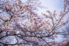 Beautiful Sakura (Dark Flash) Tags: street travel pink blue sky tree nature japan tokyo spring culture sakura japenese