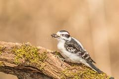 Downey Woodpecker (d.gale052) Tags: woodpecker ajax downey 2016 lyndemarsh