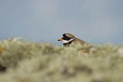 Ringed plover (jon lees - busy) Tags: bird coastal lichen foreshore assi wader nnr rockycoasts killardnationalnaturereserve