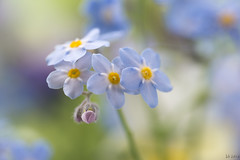 Spring flowers (--Idi--) Tags: blue flower green bokeh small tiny
