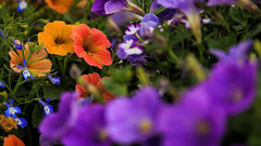 A Colorful Bunch of Flowers (Gold Element Photography) Tags: flowers orange white blur green yellow purple background depthoffield foreground