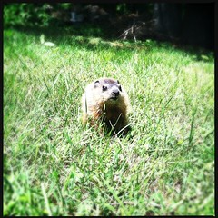 (jasonroderick1) Tags: baby cute woodchuck groundhog iphone iphoneonly hipstamatic