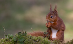 Red Squirrel (forbesimages) Tags: red wild canon scotland squirrel fife