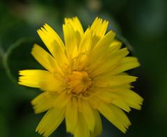 IMG_8891.CR2 (jalexartis) Tags: flowers flower spring dandelion bloom blooms