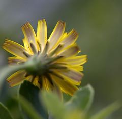 IMG_8892.CR2 (jalexartis) Tags: flowers flower spring dandelion bloom blooms